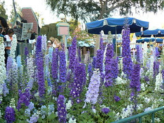 Delpheniums in Fantasyland