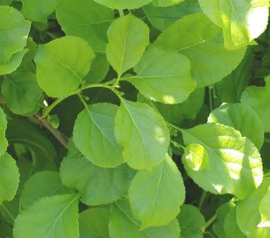 Asiatic bittersweet vine