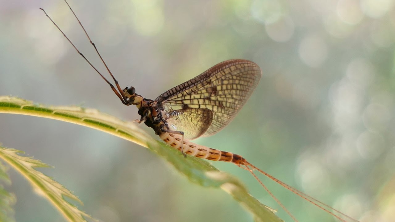 This undated photo provided by the 'Senckenberg Institute' shows a 'Danish Mayfly'. The Danish Mayfly has been selected by a German entomological society as the Insect of the Year for 2021. image credit: AP