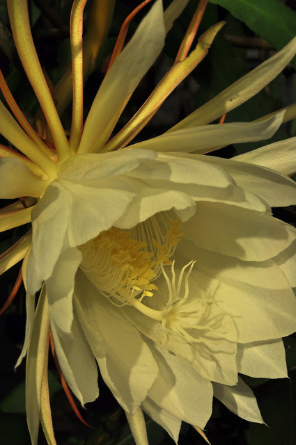 Epiphyllum oxypetalum 08-23-10 2214