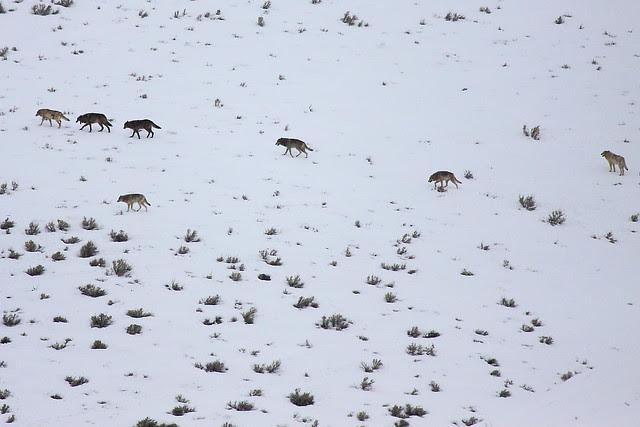 IMG_1105 Lamar Canyon Pack, Yellowstone National Park