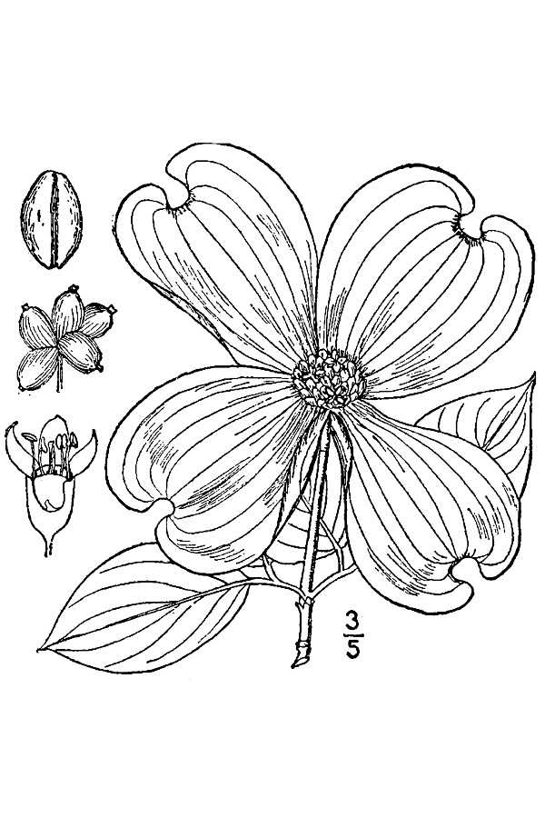 5000 Coloring Pages Of Dogwood Flowers Images & Pictures In HD