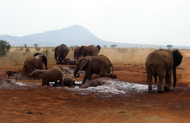 File:African Bush Elephants mud bath.png