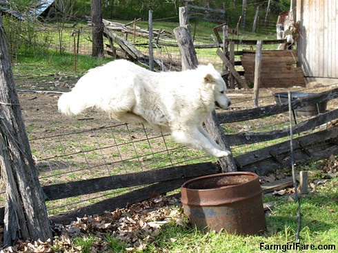 Daisy leaping over the barnyard fence - FarmgirlFare.com