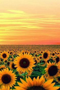 Sunset in Sun Flower Field, Maryland  I love this photo of sunflowers fading into the golden sunset. Repinned by sailorstales.wordpress.com
