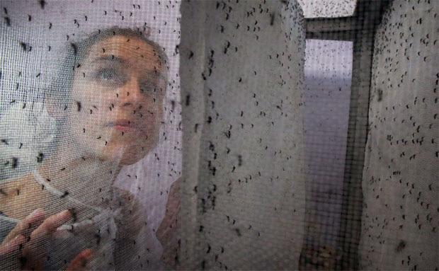 Pesquisadora olha mosquitos geneticamente modificados em fábrica de Campinas (SP)
