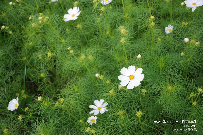 2011_1113_新社花海DSC_3505