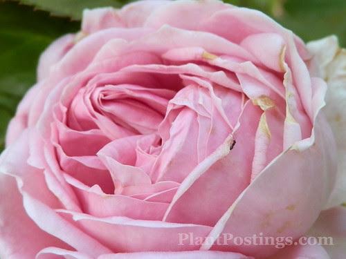 rose ant