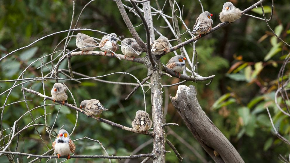 PHOTO: Zebra finches perch on a tree in the Kanto region of Japan, Jan. 15, 2014