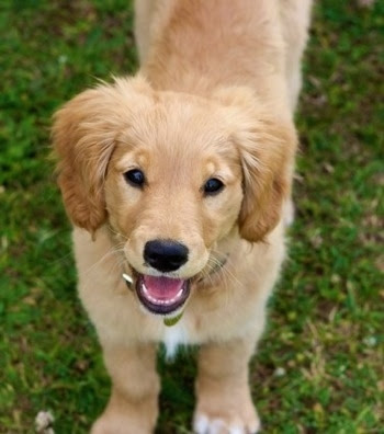 Miniature Golden Retriever Dog Breed Information and Pictures,