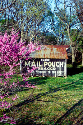 Mail Pouch Barn and Redbud Tree, Lawrence County, Indiana