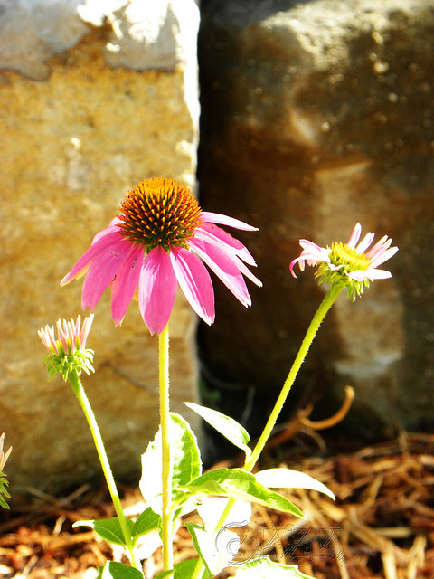 DSCN3948 Pow Wow Wild Berry Echinacea