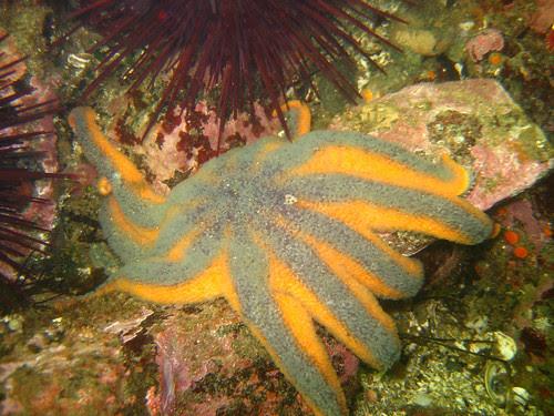 Solaster stimpsoni (Striped Sunstar)