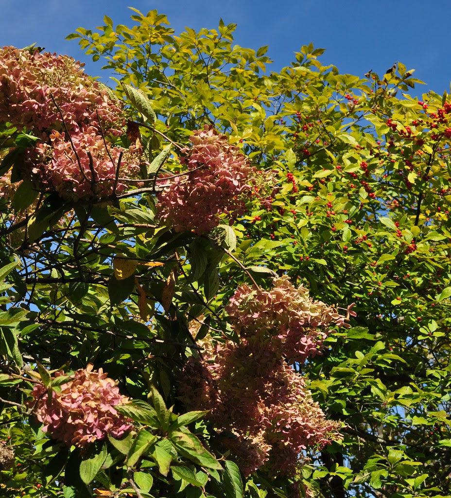 West Garden - Hydrangea and Winterberry 2