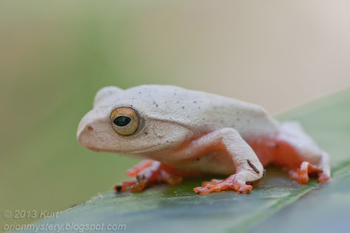 Kinabalu Tree Frog (Rhacophorus baluensis) IMG_1518 copy
