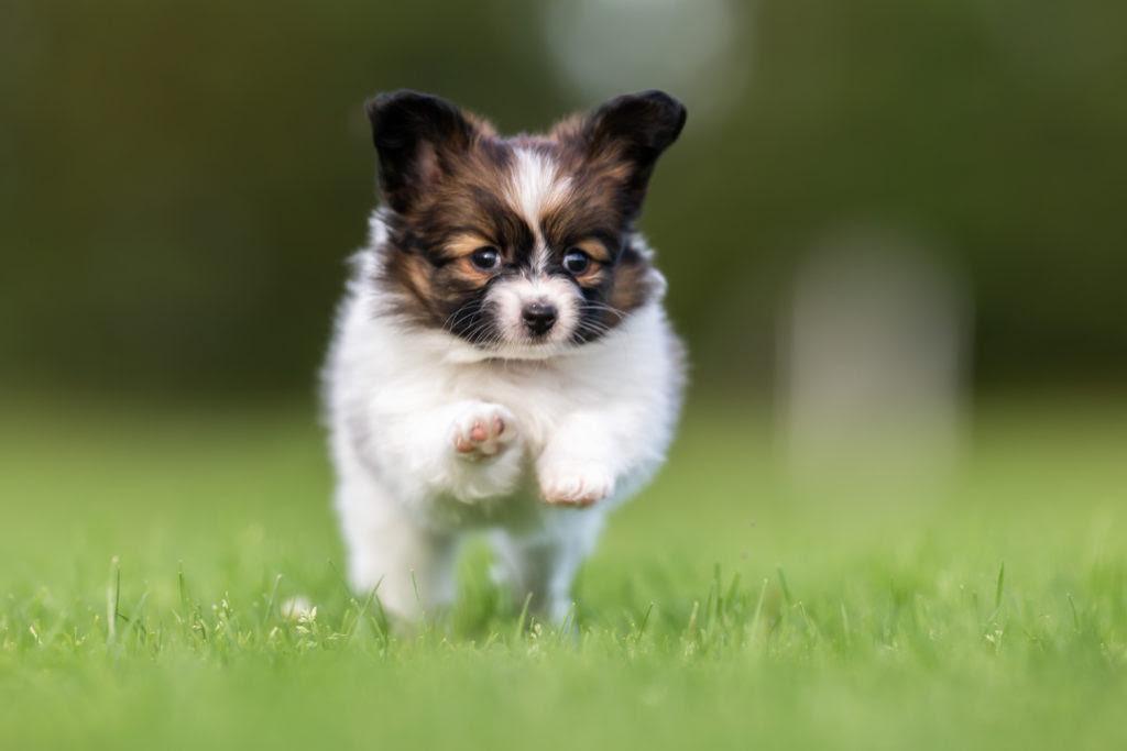 Schmuse-Ideal: Süße Hunde werden oft regelrecht krankgezüchtet
