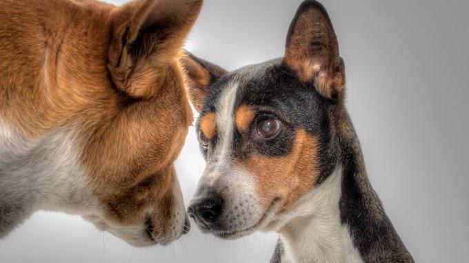 Basenji: el perro que nunca ladra
