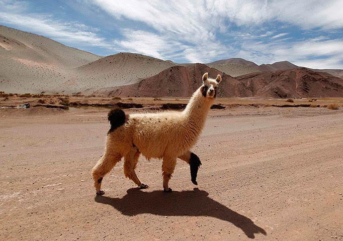 Ένα λάμα διασχίζει το δρόμο στην Αργεντινή