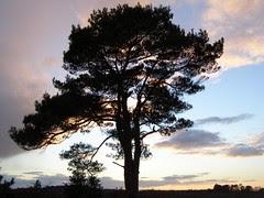 Scots pine silhouette 02