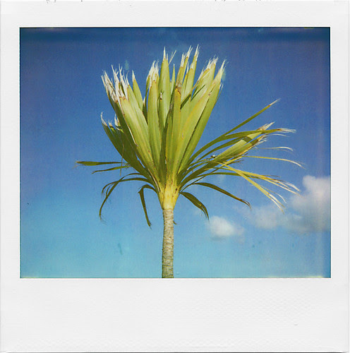 whatipu cabbage tree by Parahanga