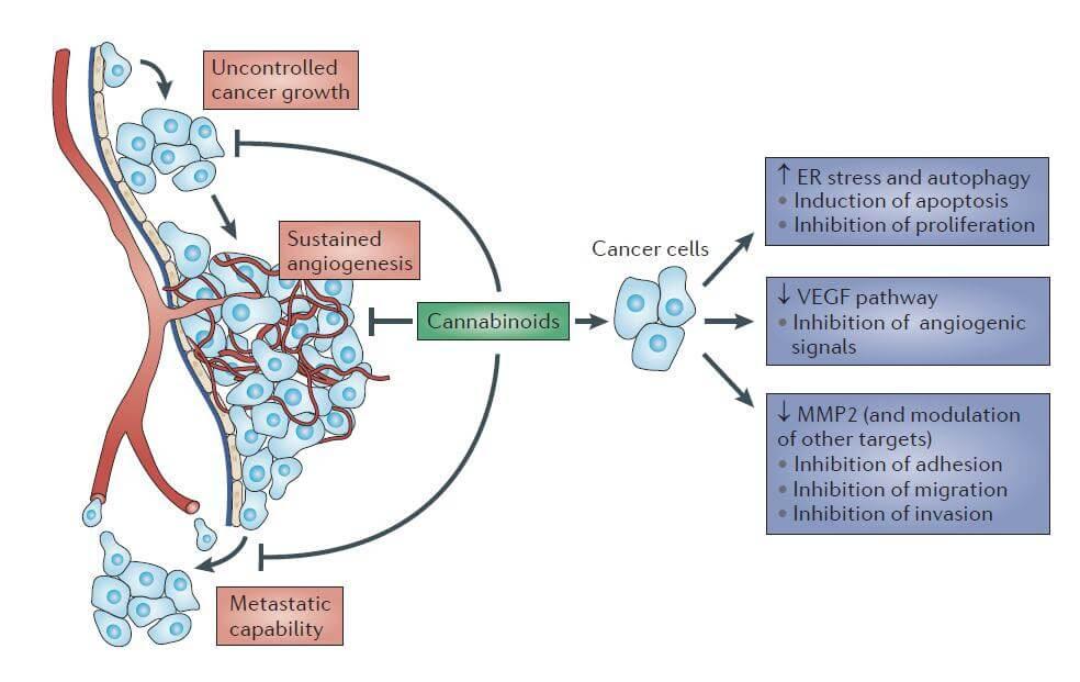 Efficacité des cannabinoïdes contre le cancer.