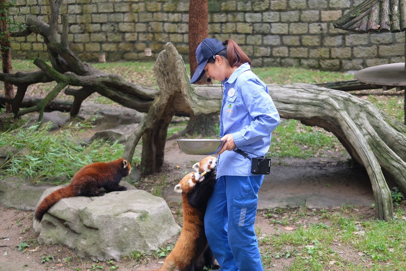 photo shanghai wildlife animal park red panda.jpg