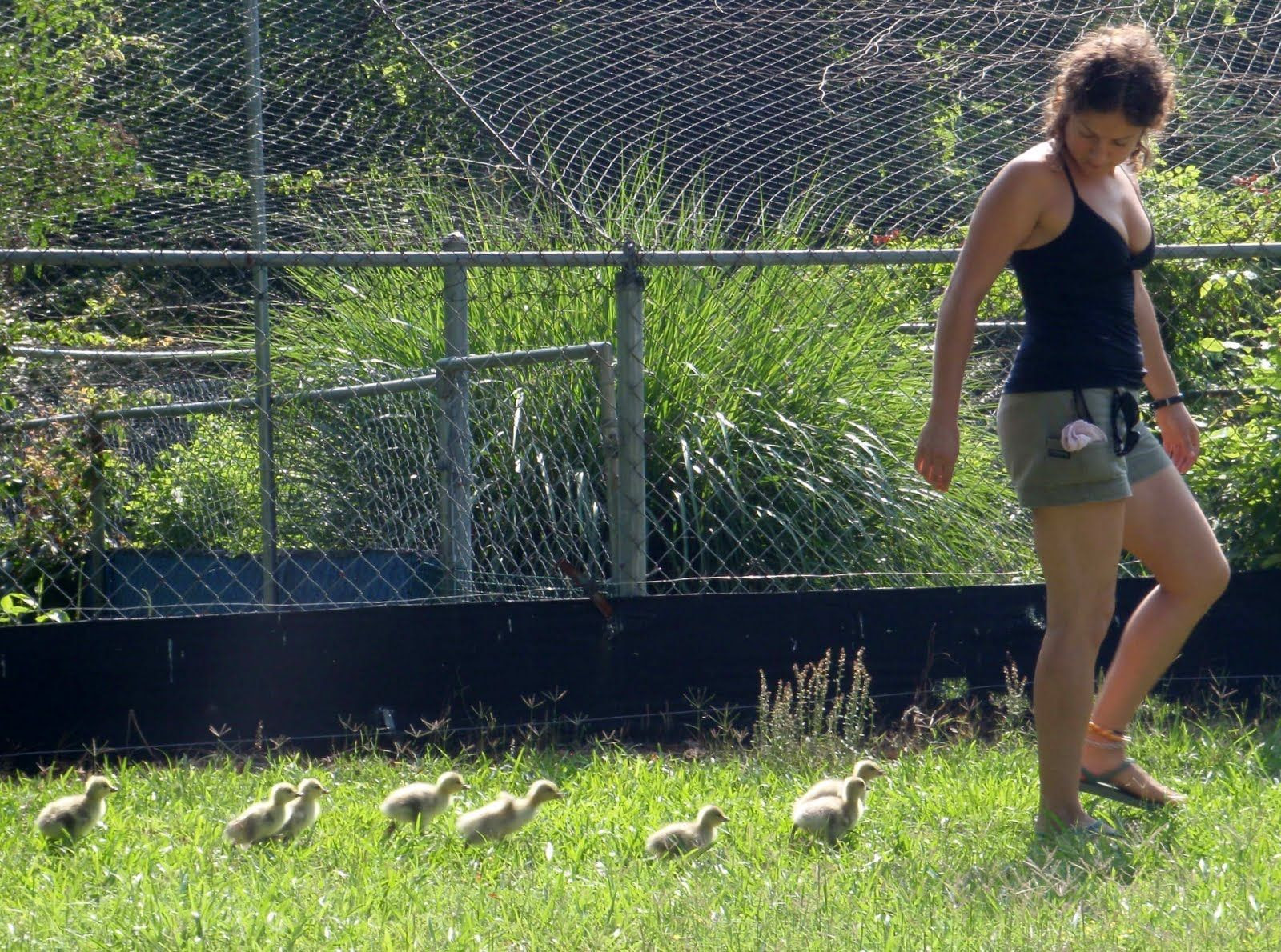Researcher Jessica Meir is followed by goslings that have imprinted on her.
