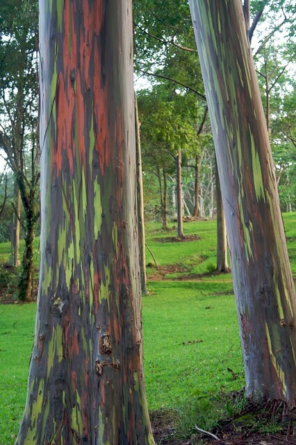 Rainbow Eucalyptus at the Keahua Arboretum