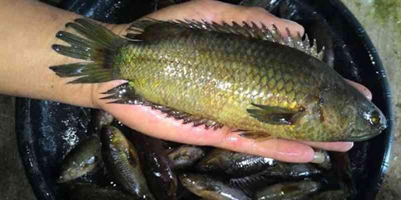 Unduh 56 Gambar Ikan Betok Terbesar Terpopuler