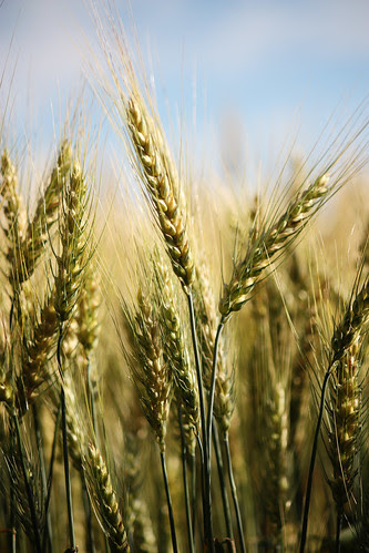 66/365 - fields of barley - 6:28pm