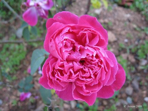 Droplets rose