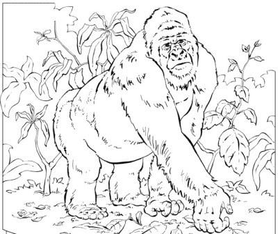 Dibujos De Gorilas Gorilapedia