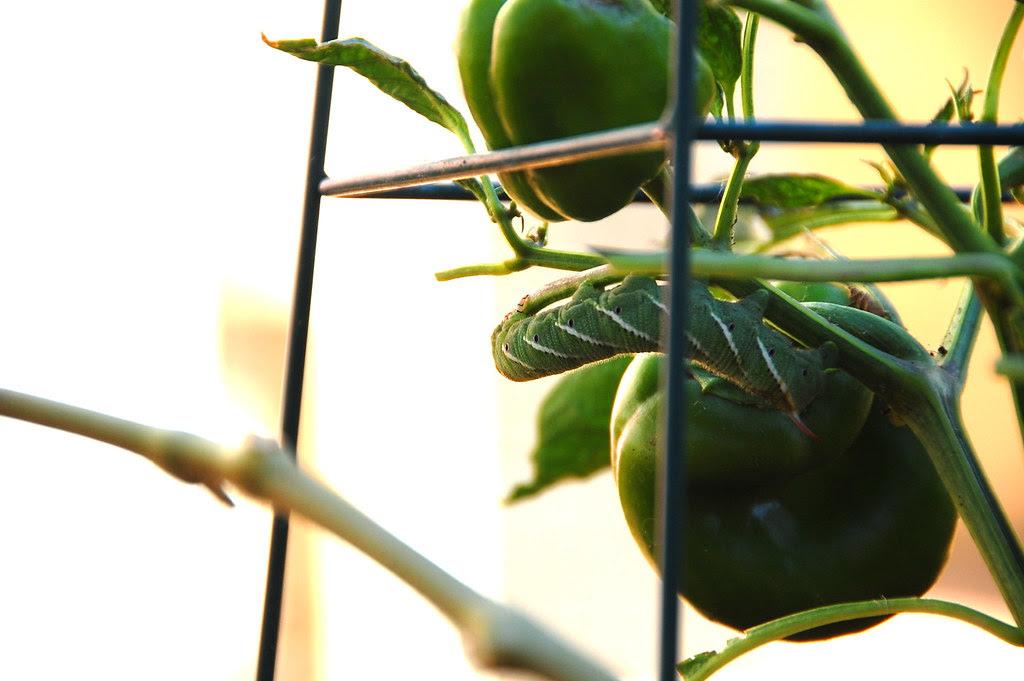 tomato chomper