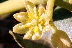 avocado blossom
