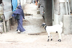 Th Sacrificial Goat and The Muslim Woman At Crossroads by firoze shakir photographerno1