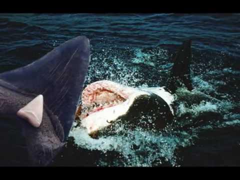 hqdefault Maior Megalodon tubarão no mundo