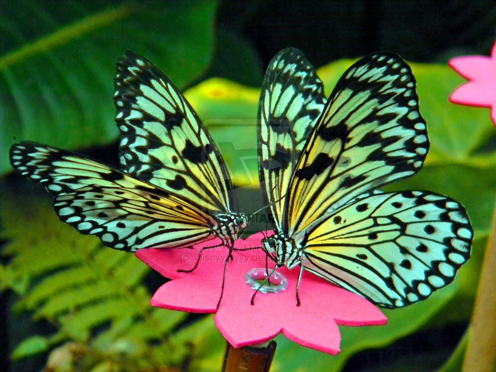 Beautiful Butterflies - Butterflies Wallpaper (41141200 ...