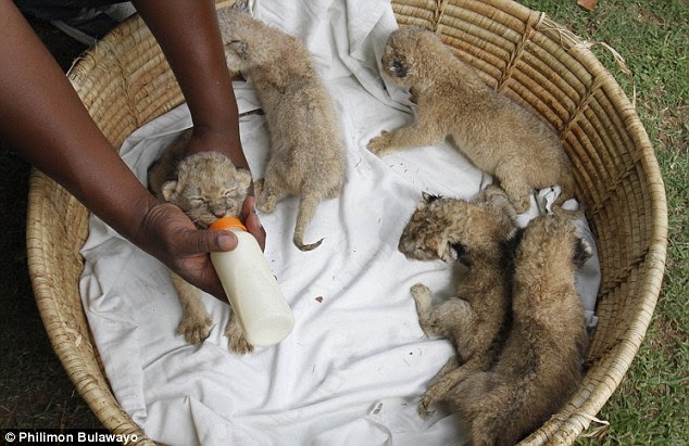 A lioness in Zimbabwe gave birth to eight cubs - a world record - despite being on the pill