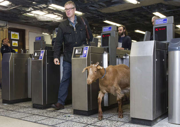 A goat named 'Barney' from Vauxhall City Farm, walks through a ticket barrier with morning commuters at Vauxhall Underground Station in London on August 28th, 2014.