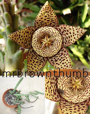 Orbea variegata, Starfish Cactus, Toad Cactus, Carrion Flower,Indoor gardening