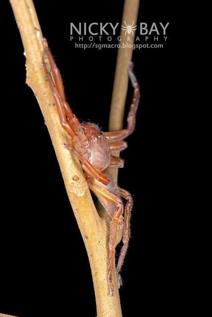 Huntsman Spider (Sparassidae) - DSC_0483