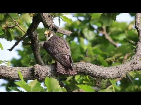 ハヤブサの若鳥の威嚇の鳴き声です。