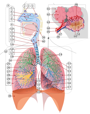numbered version of :Image:Respiratory system ...