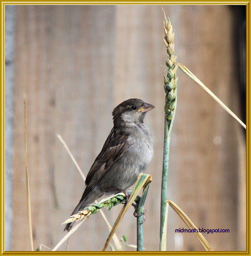 Juvenile House Sparrow 1