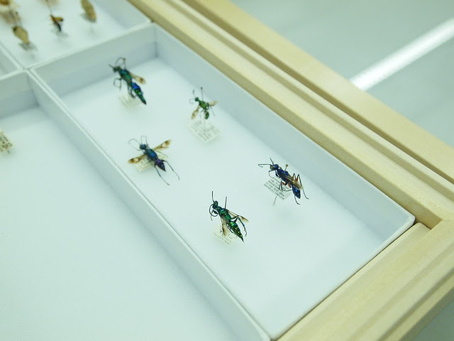 Jewel Wasps