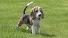 Diez razas de perros que parecen cachorros