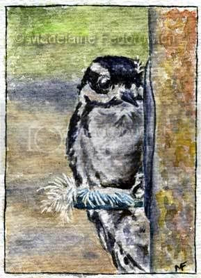 Peek-a-boo Woodpecker Bird ACEO