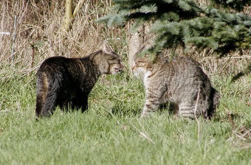 Tom Cat Catfight Exchange