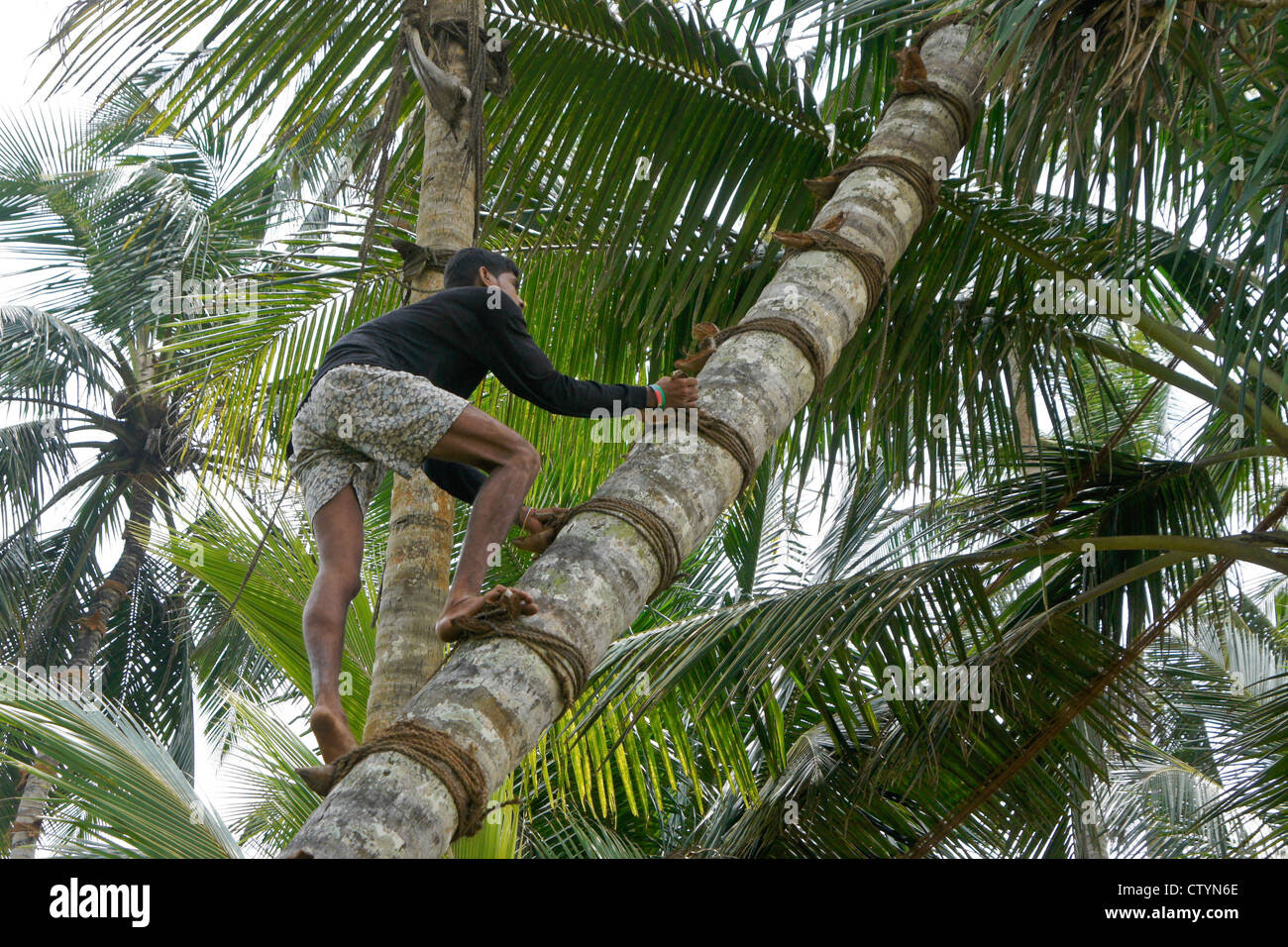 Image result for coconut and palmyrah trees