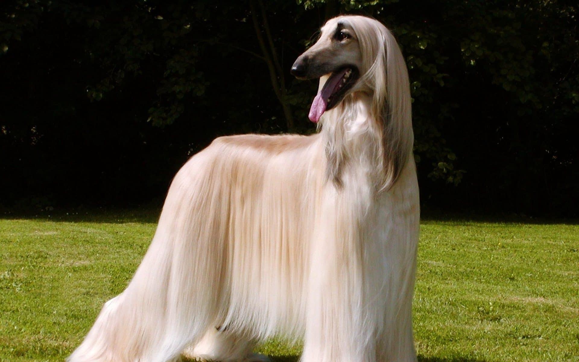 Afghan Hound  Razas perros  Lebreles de pelo largo  Mascotas